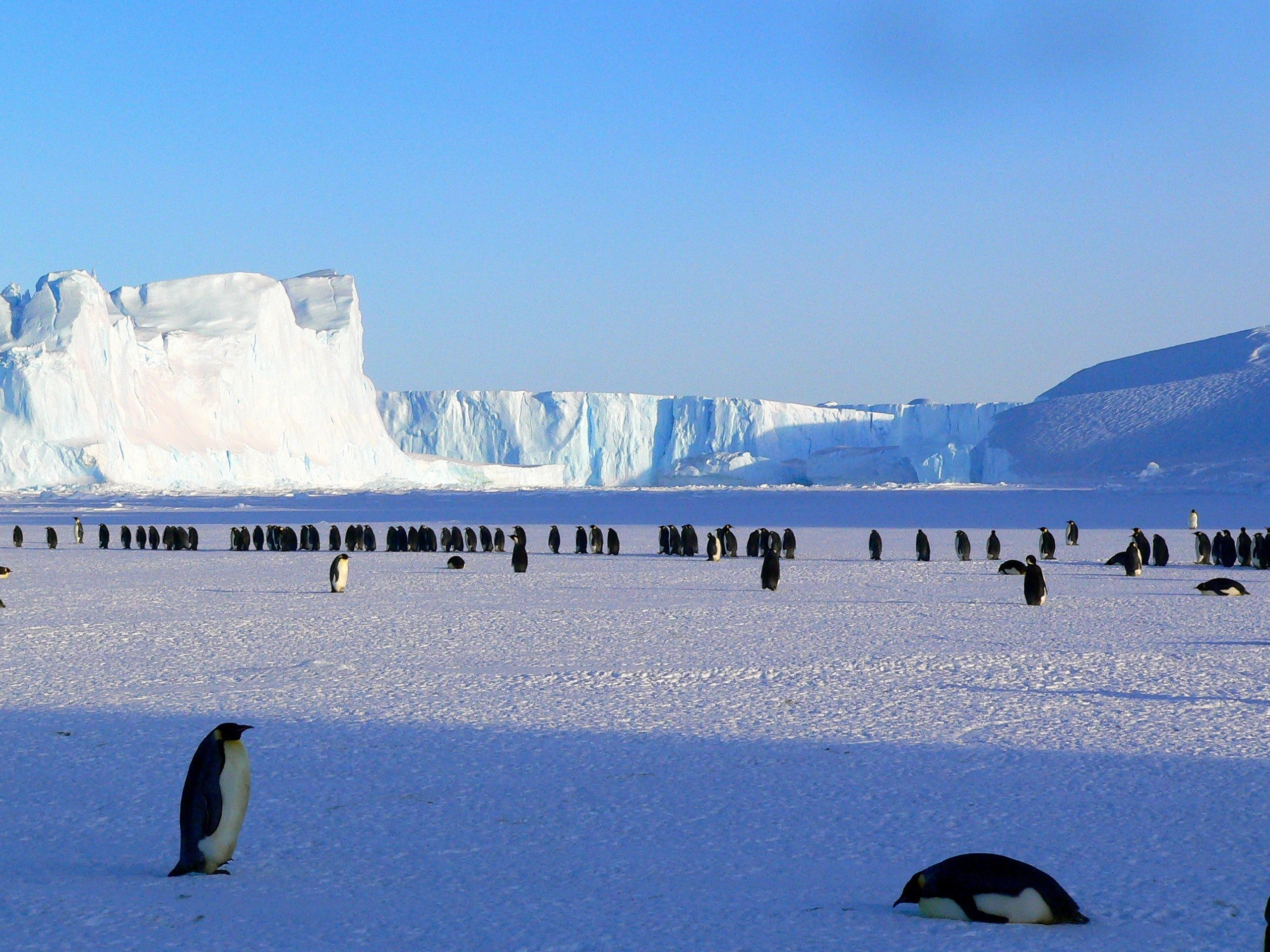A group of Antarctic Penguins